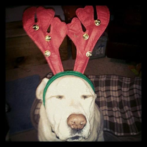 Zeus: Ho Ho WOOF! #dogs #Christmas #antlers #love #bigdog #dogstagram