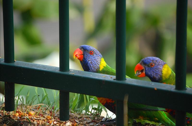 _parrots_1_