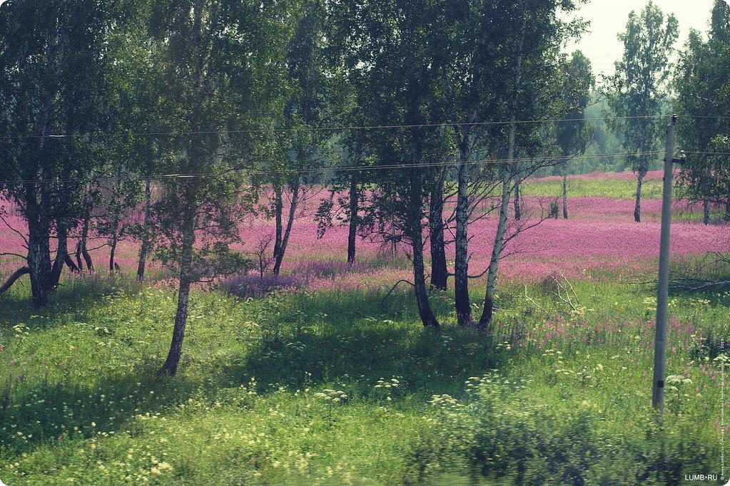 Дорога домой . The lake of willow-herb