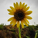Wild Sunflower by The Andrea