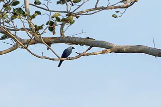 Boyer's Cuckooshrike, Nimbokrang, West Papua