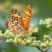Indian Fritillary ツマグロヒョウモン ♂ by Yoshihiro Ogawa