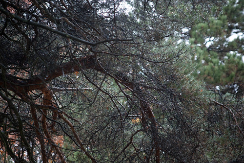 Drenched Pine