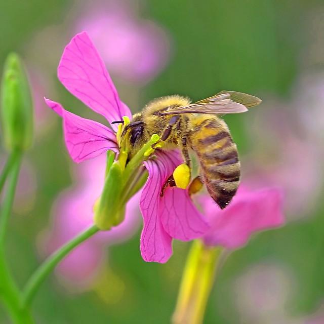 Una abeja que trabaja en una Honestidad Perenne.