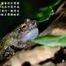 李佳翰_雄蛙不一定都會到竹筒裡鳴叫,有時也在竹筒外或附近的草叢鳴叫,獲得交配之後,雌蛙才待雄蛙到竹筒產卵