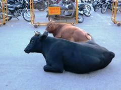 Mysore temple - cows