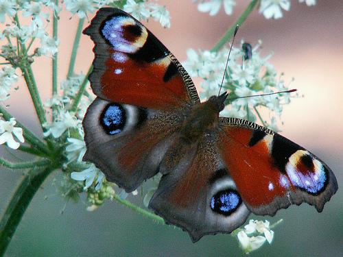 butterfly18