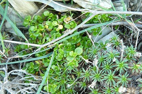 un plantain à l'allure de mousse et Polycarpon