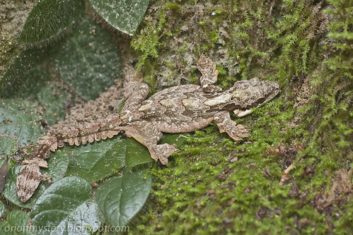 Kuhl's Flying Gecko (Ptychozoon kuhli)IMG_3195 copy