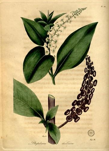 phytolacca materia medica
