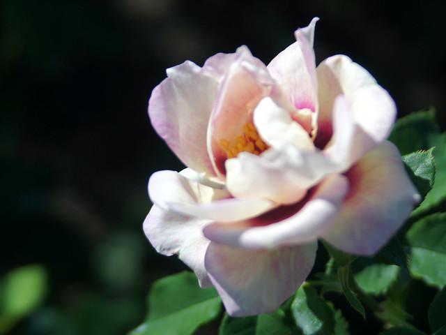 Photo:Rose,Eyes for You,バラ,アイズ フォー ユー, By T.Kiya