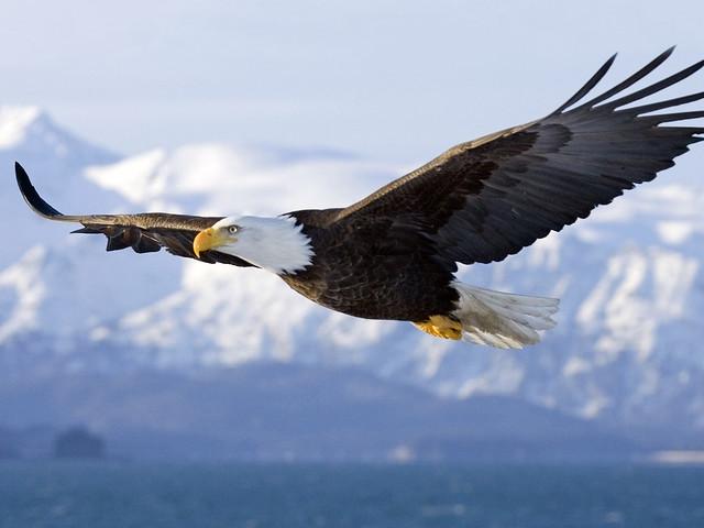 Águila calva (Haliaeetus leucocephalus) volando sobre la península de Kenai. Alaska.