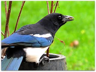 Magpie retrieving hidden food!