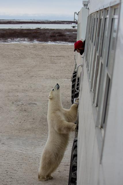A Social Polar Bear