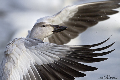 Oie des neiges / Snow goose by Luc Parent