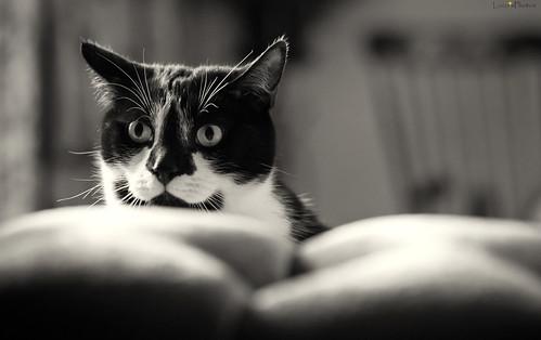 [フリー画像素材] 動物 (哺乳類), 猫・ネコ, モノクロ ID:201211251000