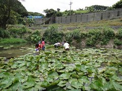阿石伯的蓮花池。(攝影:陳建志)
