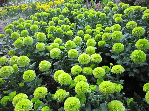 flowers green yellow garden chrysanthemum 菊