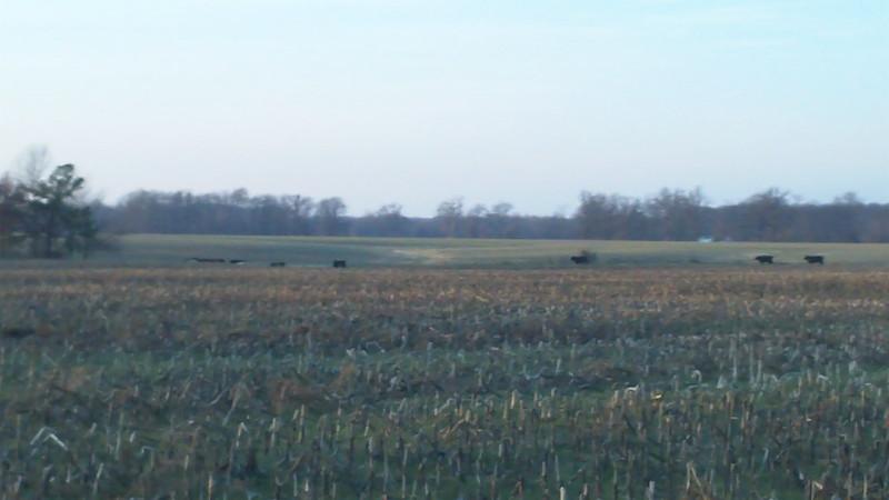 corn cows