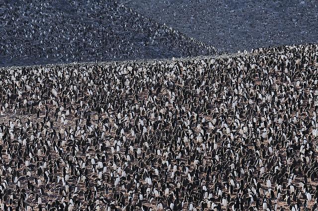 Penguin Colony, Paulet Island, Antarctica