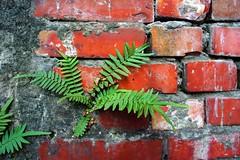紅磚縫隙中長出來的鱗蓋鳳尾蕨,紅綠搭配色彩相當搶眼。  王力平攝