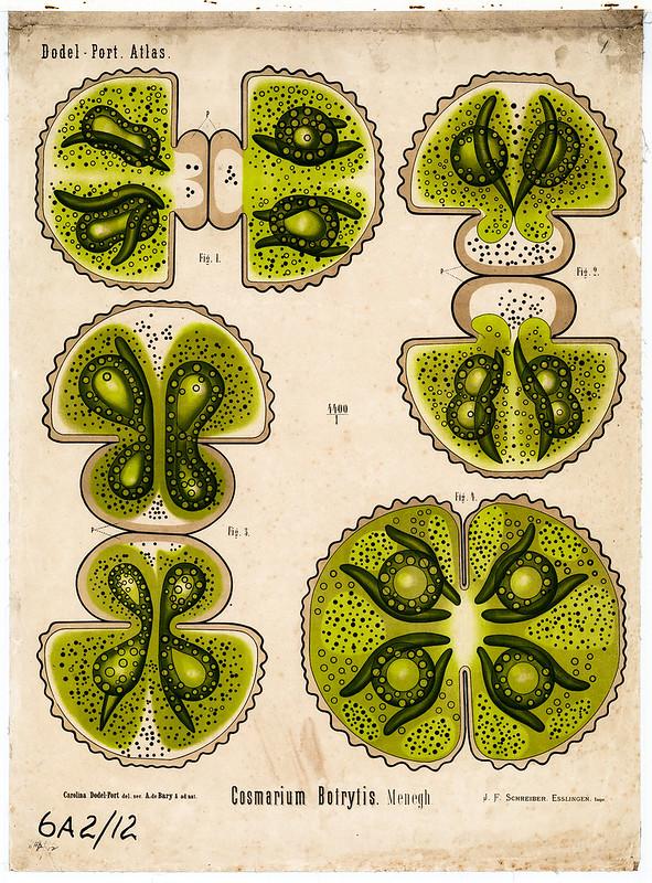 Cosmarium botrytis (Menegh)