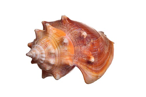 macro closeup marine florida shell seashell seacreature seasnail extensiontube kenko oceancreature strombus floridaconch fightingconch pugilis strombuspugilis floridafightingconch gastropodmollusk marinagastropodmollusk