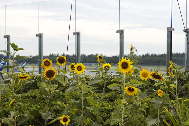 singapore changi airport sunflower garden