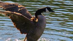black swan(0.0), cormorant(0.0), animal(1.0), water bird(1.0), wing(1.0), fauna(1.0), waterfowl(1.0), ducks, geese and swans(1.0), beak(1.0), bird(1.0), wildlife(1.0),