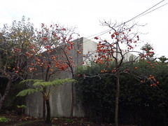 Persimmon Trees_Berkeley