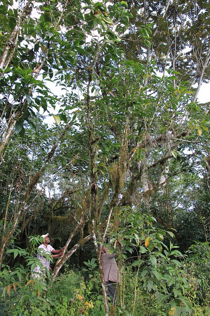 10 meter tall coffee tree!