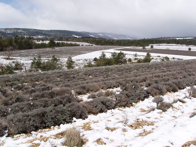 200504170041_lavender_field_in_snow