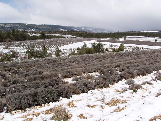 200504170041_lavender_field_in_snow