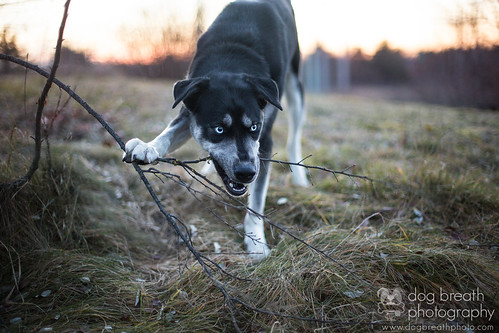 sunset dog cute boston husky massachusetts branches eat siberianhusky snack hungry shelter methuen adoptable dogbreath professionaldogphotographer dogbreathphotography mspcaatnevinsfarm highqualitydogs