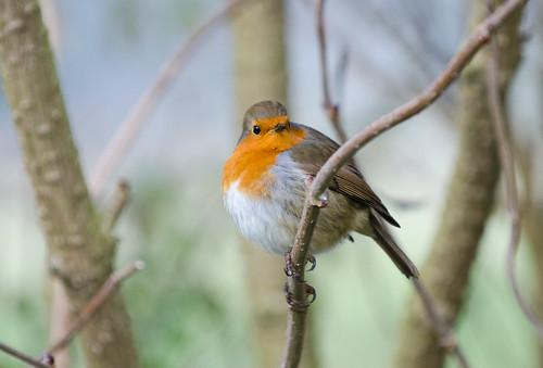 Robin by Pat MacInnes