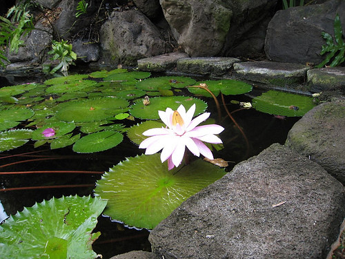 Lotus and Koi pond