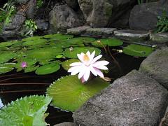 Lotus and Koi pond