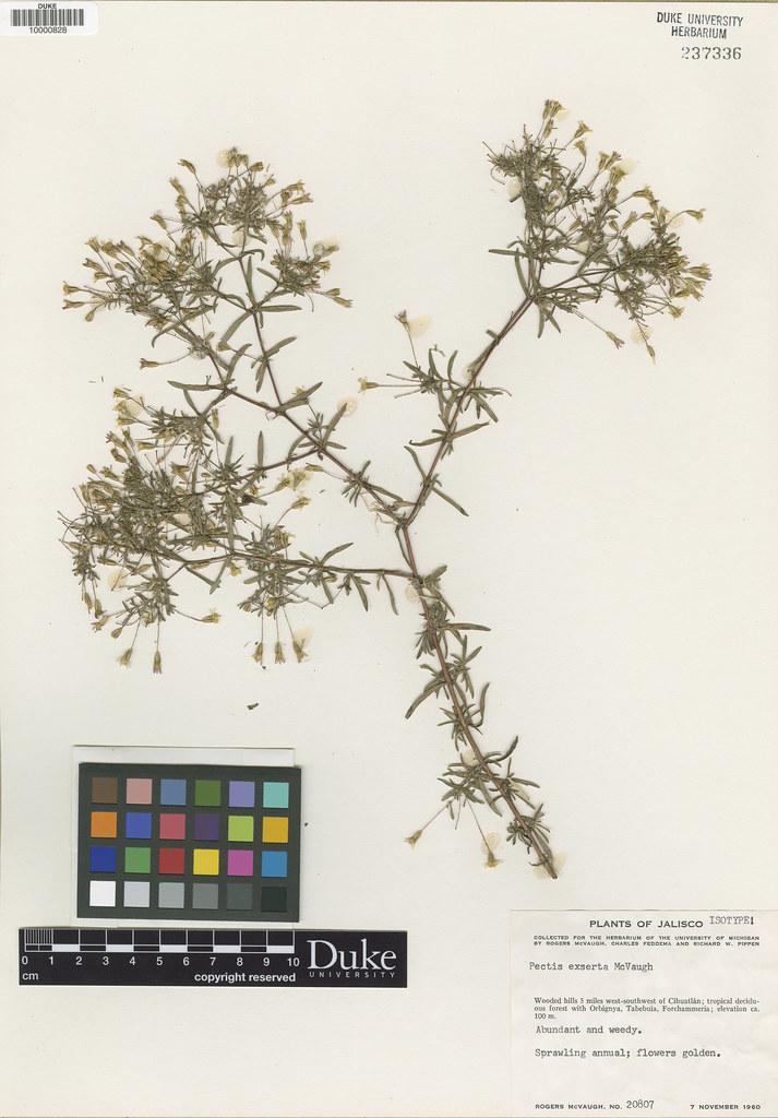 Asteraceae_Pectis exserta