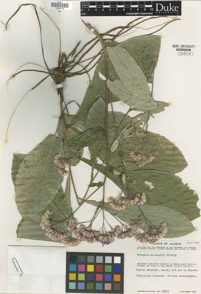 Asteraceae_Vernonia autumnalis