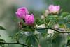 Fiori Monte Faggeto - Rosa Canina - Campodimele, Lazio, Italia - look great -