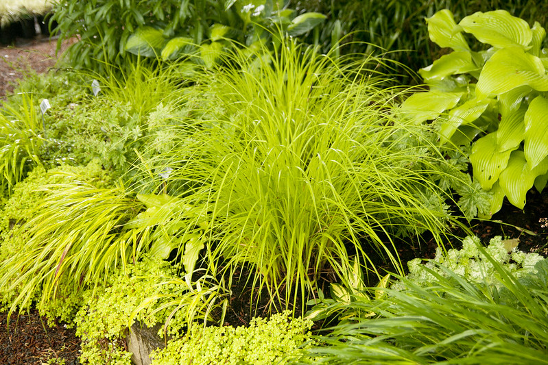 yellow carex