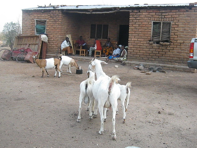 Goats thirsty for water - Mtayamanja Village