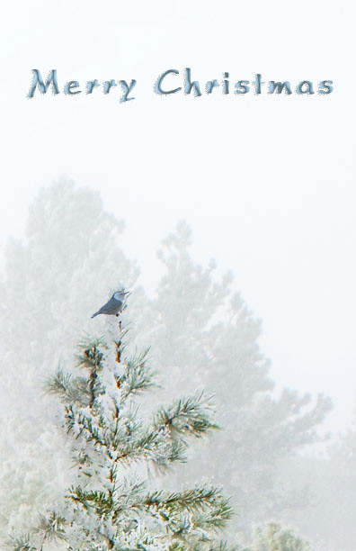 A tiny white-breasted nuthatch perches at the top of a snow covered pine