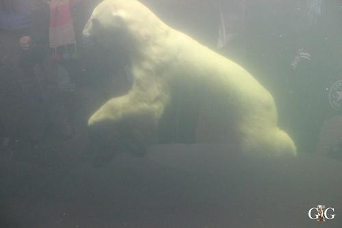 128 Eisbär Blizzard unter Wasser
