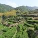Jardin de thé dans le sud du Zhejiang