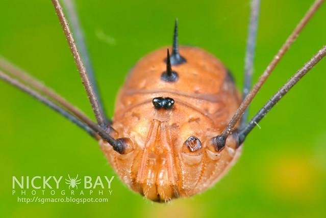 Harvestman (Opiliones) - DSC_4746