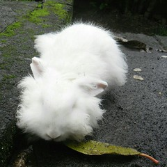 animal, rabbit, domestic rabbit, angora rabbit, rabits and hares,