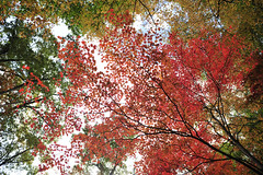 [Free Images] Nature, Forest, Autumn Leaf Color, Landscape - Japan ID:201212091200
