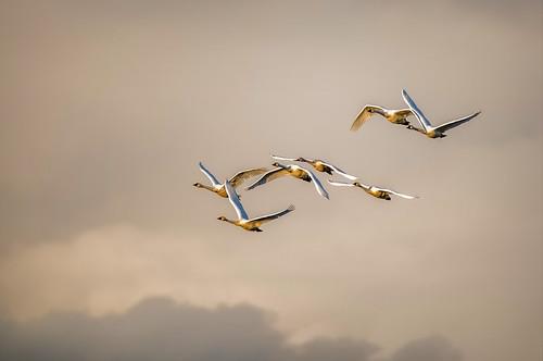 swans tundra cygnuscolumbianus ridgefieldnwr