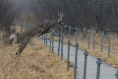 Buck Jump_49165.jpg by Mully410 * Images